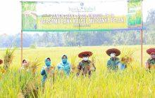 Dukung Program Ketahanan Pangan, Bank Kalsel Panen Raya di Nalui