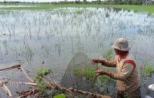 Anak Padi Petani Kurau Terancam Rusak Akibat Banjir