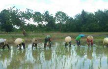 Sukseskan Ketahanan Pangan, Babinsa Bantu Tanam Padi