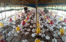 Usai Nelpon, Tergantung tak Bernyawa di Kandang Ayam